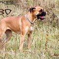 Bo - moja ukochana psica. #bokser #boxer #pies #psica