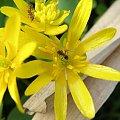 pzk #pzk #natura #przyroda #tapeta #wiosna #makro #żółty