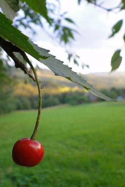 #Czereśnia #Owoce