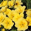 ... #Bralin #wiosna #kwiaty #bratki