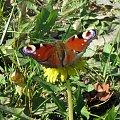 Motyl #motyl #trawa #zieleń