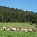 Celebrytka ? :) #Natura #owce #Bielice