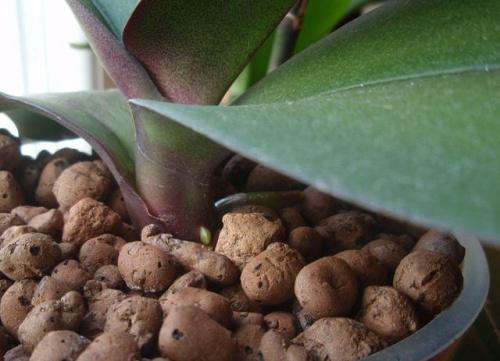 Uprawa wazonowa w keramzycie - Page 2 08306b8b349cfe68med