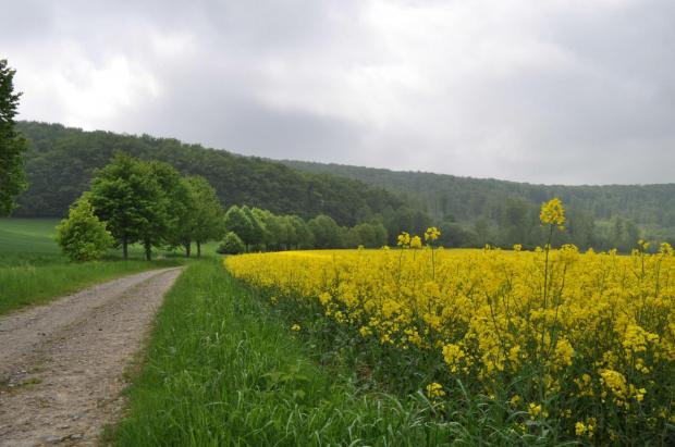 #lato #rzepak #pejzaż #przyroda #drzewo #Baum #Landschaft #Sommer #Raps