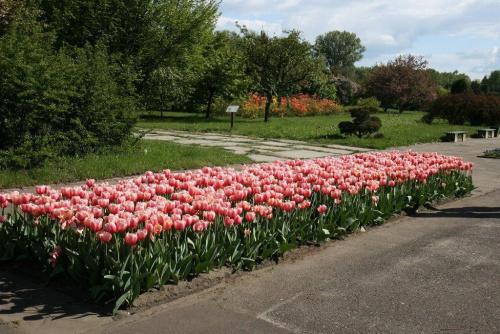 Rabata tulipanów #Kwiaty