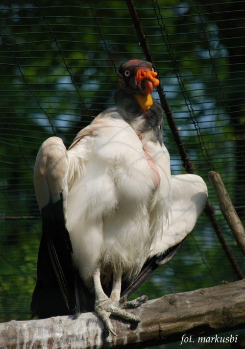 nie doczytałem ale coś jak sęp... #ptaki #zoo