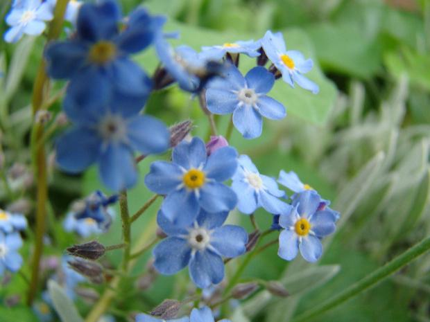 Niezapominajki....to kwiatki z bajki. #niezapominajki