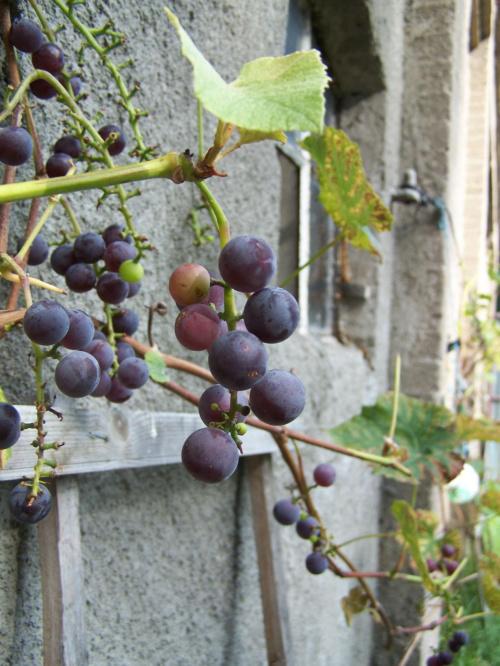 #przyroda #roślina #kwiat #winogrono