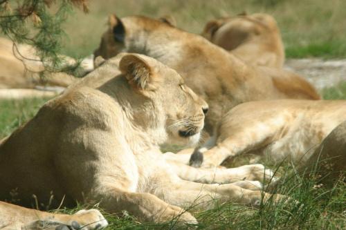 Lwy w Europie? Możliwe... #lew #lwice #zwierzęta