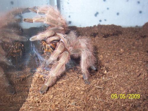 kolacja samiczka N. vulpinus i dorosly samiec dubia