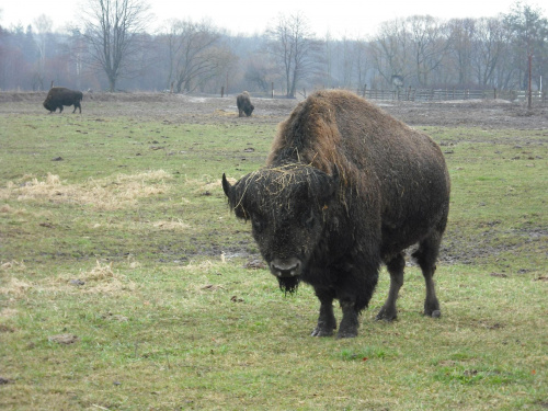 Bizon-Kurozwęki. #bizon #Kurozwęki