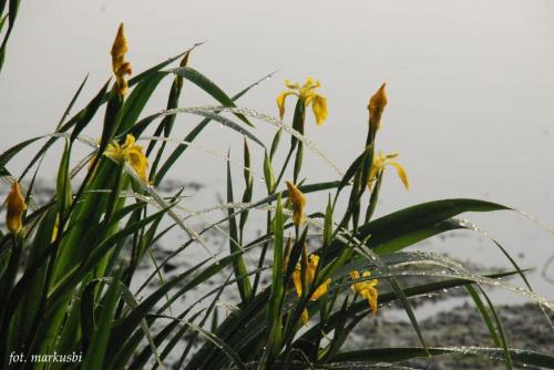 poranek, irysy albo jakaś ich odmiana bo rosną nad wodą... #kwiaty