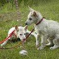 #BiałyOwczarekSzwajcarski #owczarek #owczarki #BiałeOwczarki #BiałyOwczarek #szczenięta #szczeniaczki