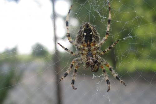 łowczy pająk