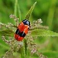 wypolerowany.. #owad #makro #chrząszcz #łąka #lato