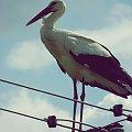 Kajtek #ptaki #bocian