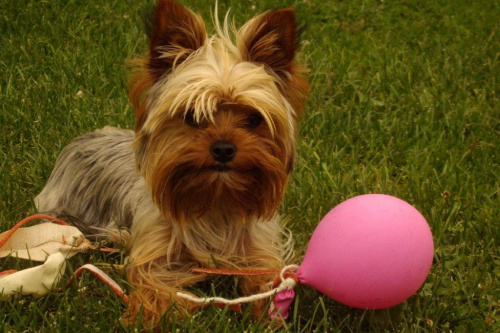 różowy balonik:) #Pies #natura #balon