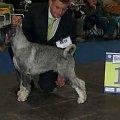 Grand Sen Azar 1 exc , CAC,klasa otwarta psy res CACIB, viceZwycięzca Europy
