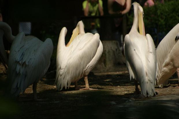 Pelikany #ZwierzętaPelikany