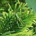 kamuflaż #owad #przyroda #zieleń