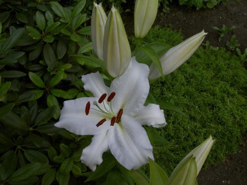 lilie w moim ogródku
