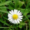 #stokrotka #kwiat #kwiaty