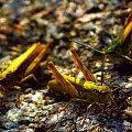#szarańczowate #Acrididae #gody