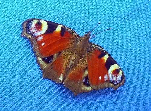 Błękit i motyl