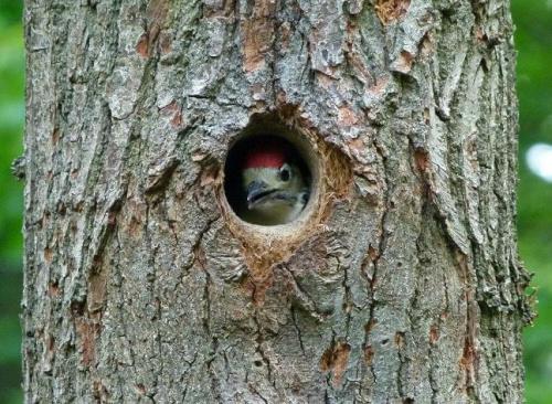 Dzięcioł #Ptaki #przyroda #zwierzęta #natura