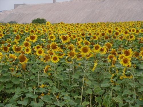 Słoneczniki nie Van Gogha #Słoneczniki #słonecznik #kwiat #kwiaty #pole
