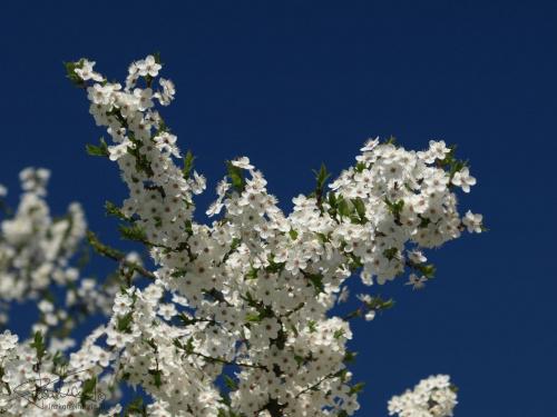 wiosna, 04.2009 [Olympus E-410, Zuiko Digital Tele 70-300 + filtr polaryzacyjny kołowy] #kwiat #kwitnie #wiosna #natura