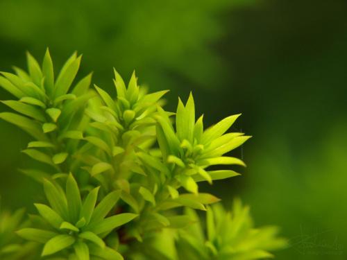 Iglak [Olympus E-410, Zuiko Digital 14-42, soczewka makro +8Dioptrii] #natura #roślina #kwiat #iglak #pajęczyna #makro