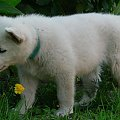 Hodowla Białego owczarka szwajcarskiego #szczeniak #BiałyOwczarekSzwajcarski