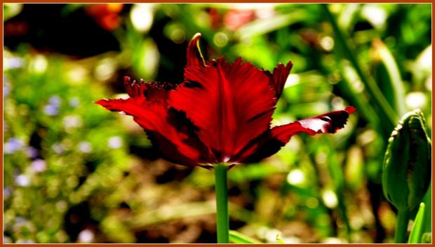 tulipanek #kwiaty #ogrod #wiosna #slonce #tulipan