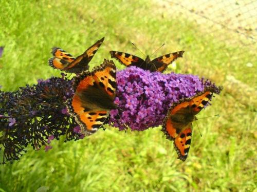 Motyle #motyle #budleja