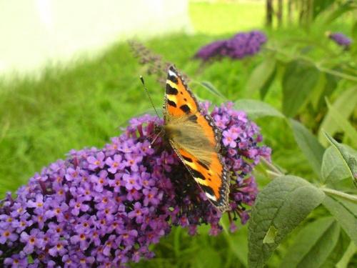 Motyl #motyl #budleja