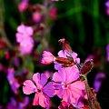 #kwiaty #łąka #wiosna #fiolet #róż #przyroda #natura #liscie