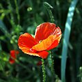 ...cisza jak makiem zasiał... ;) #łąka #pole #maki #mak #natura #przyroda #owady #makro #kościół #BiałoCzarne #baszta #kwiaty #trawa