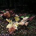 jesienne barwy lasu #Jura #las #paproć #barwa