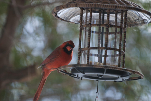 Czasami odwiedza nas czerwony cardinal #Ptaki #cardinal