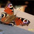 Ten motylek już zmęczony, zdjęcie zrobione pod koniec lata. #pająki #motyle #muchy #pszczoły #owady #makro #makrofotografia #pajęczyny