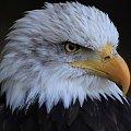 #ptak #drapieżnik #orzeł #przyroda #natura