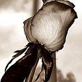 Na dobry nowy tydzień #Róża #sepia #kwiatek