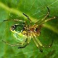 Arbuz ;) #Pająk #pajączek #macro #mały #arbuz #kolorowy #makro #blisko #przybliżenie