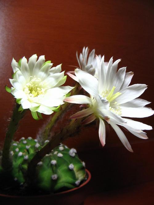 Echinopsis subdenudata #echinopsis #subdenudata #kwiat #kaktus #kwitnienie #kaktusy