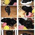 #pies #piesek #szczeniak #szczenięta #szczeniaki #pieski #sznaucer #sznaucerek #sznaucerki #miniaturowy #miniaturka