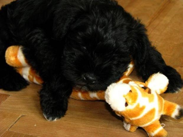 #pies #piesek #szczeniak #sznaucer #miniaturowy #miniaturka #żyrafa