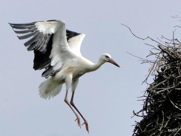 Młody bocian podczas nauki latania. #bobiany