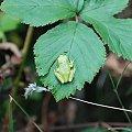 #natura #przyroda #żaba #rzekotka