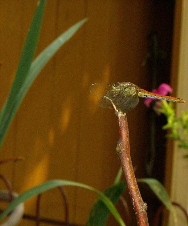 Ważka. #ważka #owad #owady